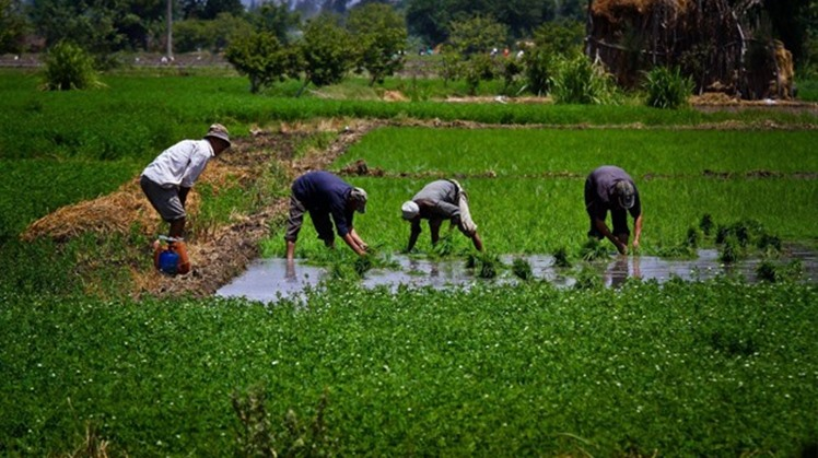 Egypt's agricultural sector contributes to the gross domestic product (GDP) by 14 percent