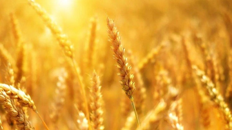 Egypt has purchased 3.5 million tonnes of wheat from local farmers during the current harvest season which began on 15 April and will end on 15 July.