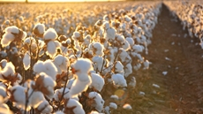 Egypt's government is pumping a $1.2 billion (LE 21 Billion) investment to promote the added value of Egyptian cotton, in an effort to develop the country's textile industry.