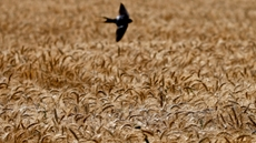 Egypt has harvested around 1.2 million feddans of wheat since the beginning of its domestic wheat harvest season in mid-April, Egypt's Minister of Agriculture El-Sayed El-Quseir said on Sunday.