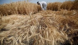 Wheat cultivated areas rise to 1.5 million feddans